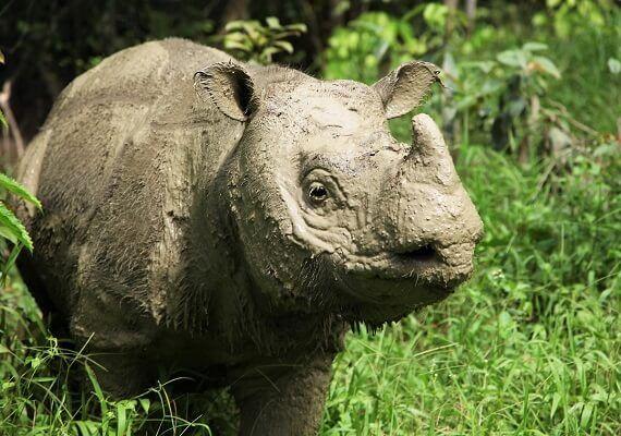 Malaysia's Last Male Sumatran Rhinoceros Has Died