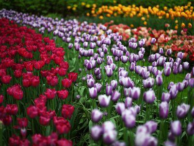 Floral displays on show at Keukenhof Gardens