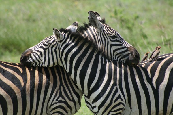 Zebra in Ngorongoro Crater, Tanzania thumbnail