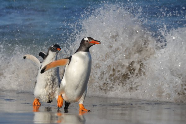 Gentoo Penguin Chick Chasing Adult thumbnail