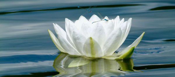Lily of the Lake thumbnail