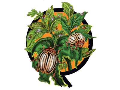 North American species like the Colorado potato beetle and the fall armyworm have become invasive elsewhere.
