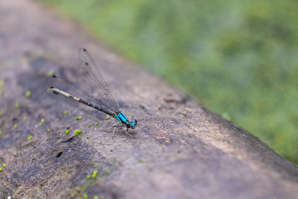 Damselfly at Triangle Bog thumbnail
