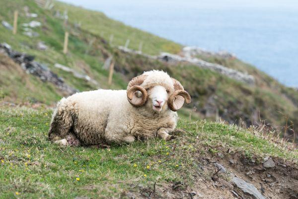 Sheep Ram in Ireland thumbnail