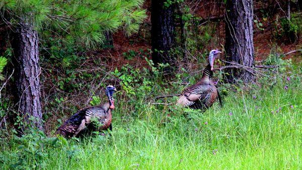 Eastern Wild Turkeys on an early afternoon stroll. thumbnail