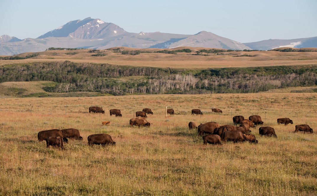 The Best Spots for Seeing Buffalo in Indian Country in Montana