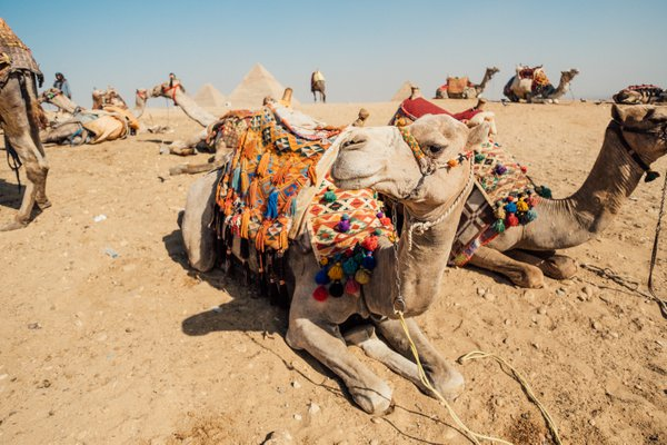 Camels at the Pyramids thumbnail