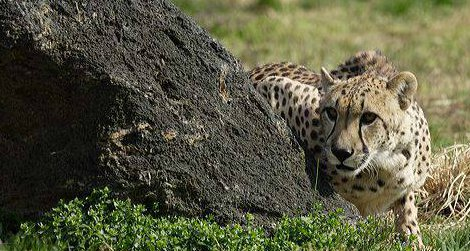 The National Zoo's senior female cheetah, Tumai, died last night.