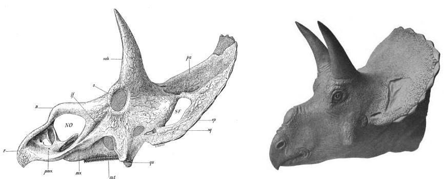 20110520083310nedoceratops-skull-restoration.jpg