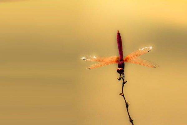 balance of dragon-fly thumbnail