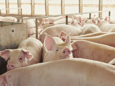 """Pork producers are challenging the law in Iowa, where a third of the country's hogs are raised, claiming it will cost """"tens of millions of dollars"""" annually to meet the requirements."""