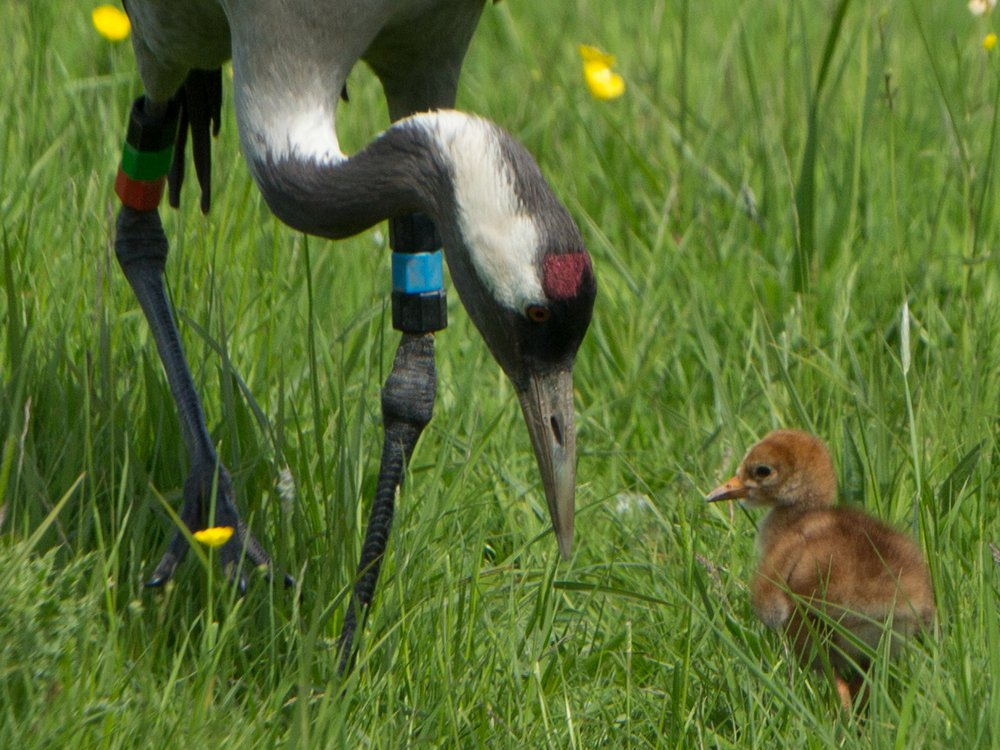 Crane chick Graham Hann5.jpg