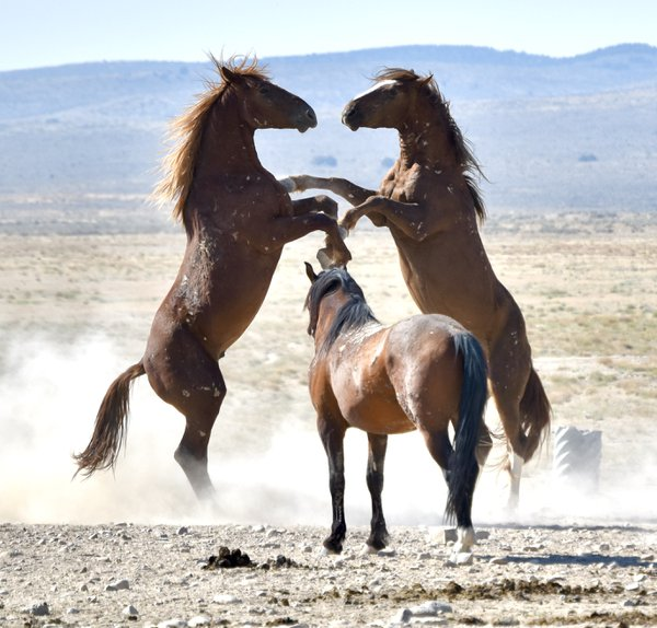 Wild Horses being territorial. thumbnail