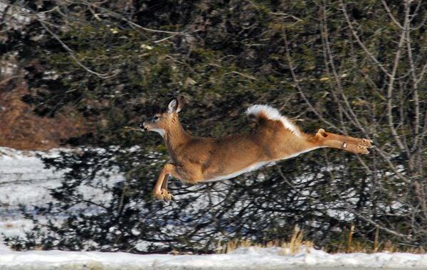 Whitetail deer in mid-leap thumbnail