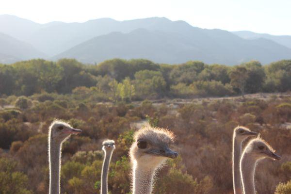 Ostrich heads thumbnail