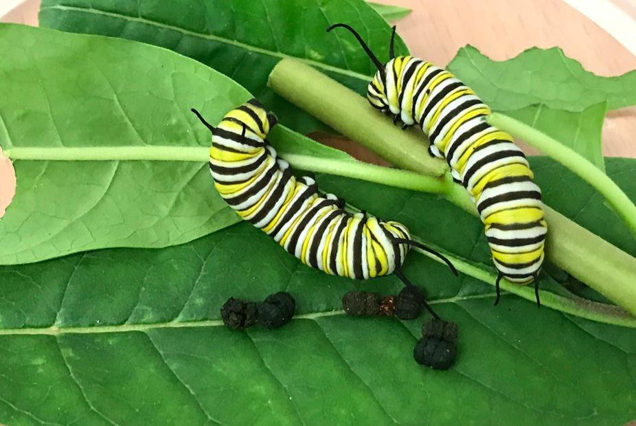 Monarch caterpillars feeding on milkweed leaves and dropping their faces (taken in the laboratory facility).