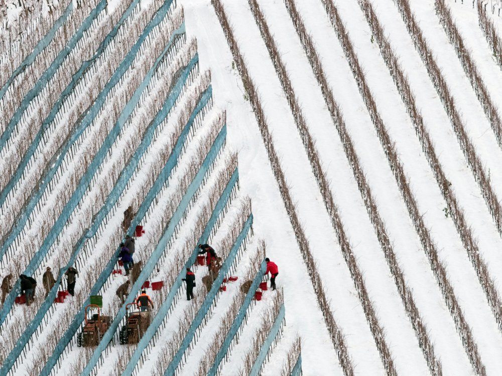 A crew harvesting grapes in Glottertal, Germany, on January 18, 2016.
