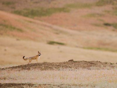 In the midst of the pandemic, as the story goes, a team set out to bring swift foxes back to a land they had disappeared from more than 50 years ago.