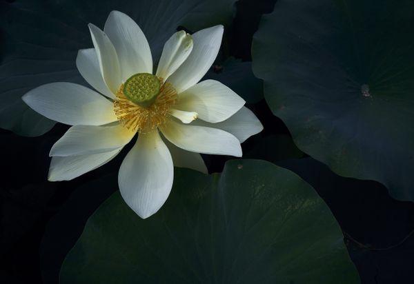 Lotus Flower thumbnail