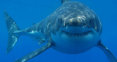 A great white shark off the coast of South Africa