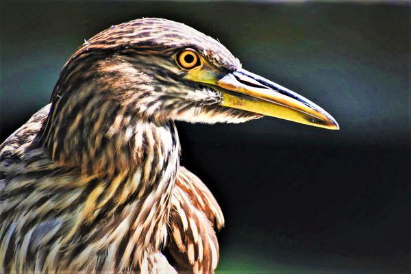 Portrait of a Juvenile Black Crowned Night Heron thumbnail
