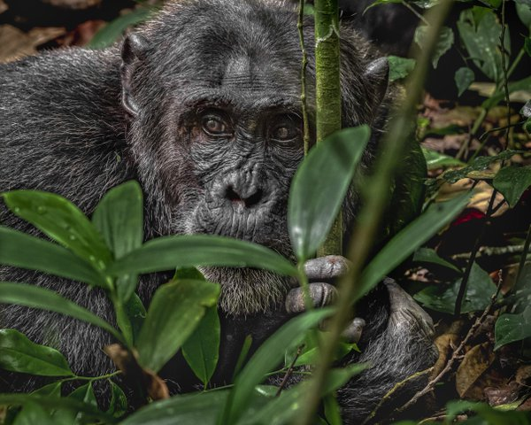 Intent Chimpanzee thumbnail
