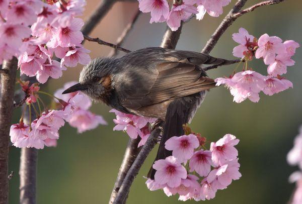 Cherry Blossom Bulbul thumbnail