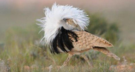 A male houbara bustard displays his feathers to get a female