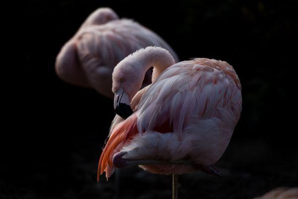 Flamingo thumbnail