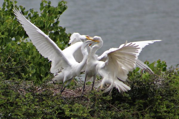 Great Egrets battle for nesting rights near High Island, Texas. thumbnail