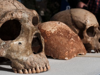 Comparison of a Neanderthal skull (left) and a human skull (right) with a 55,000-year-old fragment from a possible human-Neanderthal hybrid.