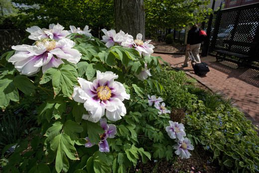 A tree peony blooms in the Mary Ripley Garden