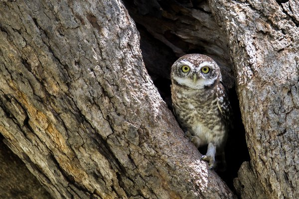 Spotted Owlet thumbnail