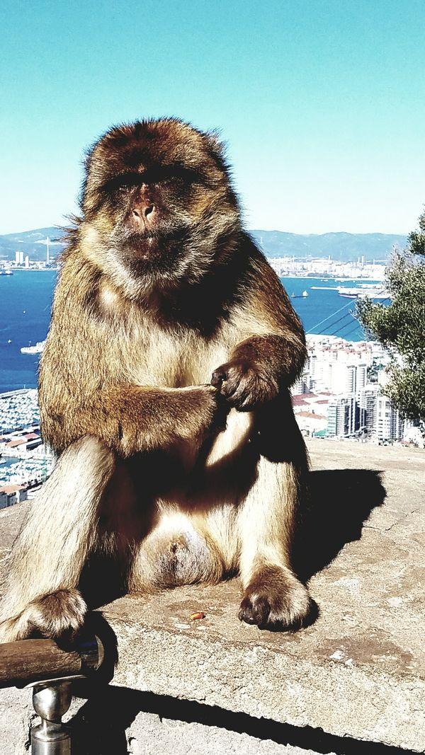 Barbary ape in Gibraltar  thumbnail