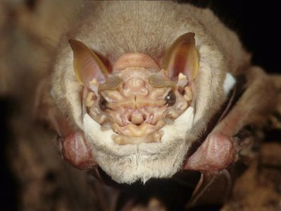 A male wrinkle-faced bat (Centurio senex) seen dangling from his perch. Beneath his chin is a furry skin fold that he pulls up to cover the lower half of the face like a mask during courtship.