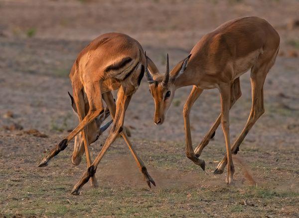 Young Impala bulls Jousting thumbnail