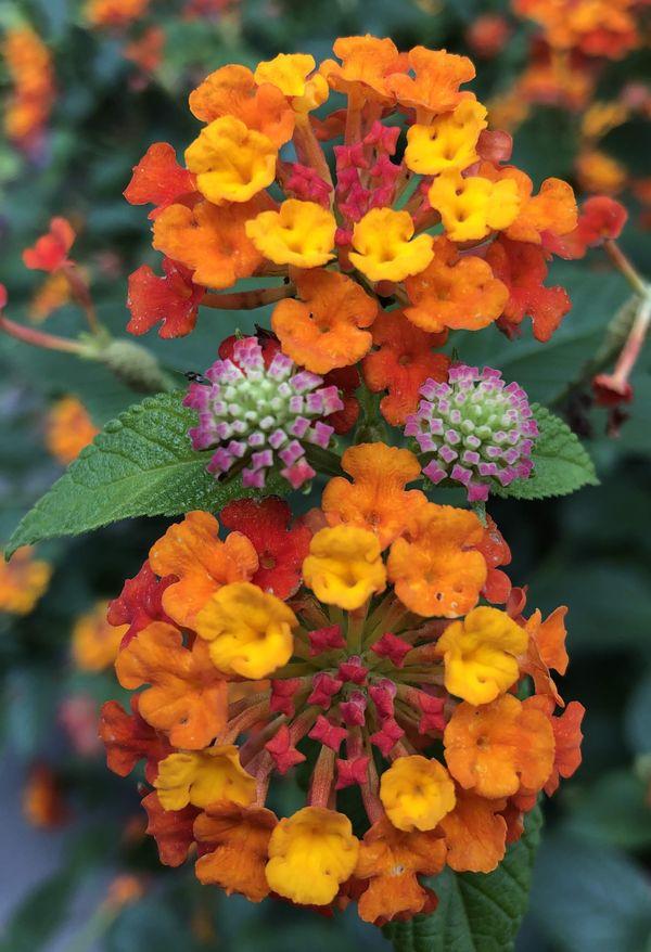 July garden flower In Virginia  thumbnail