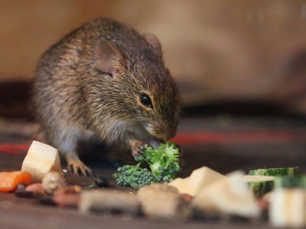 mouse broccoli