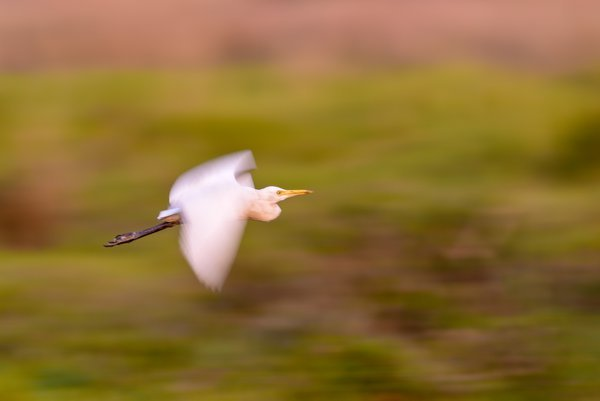 A Cattle egret is flying across thumbnail