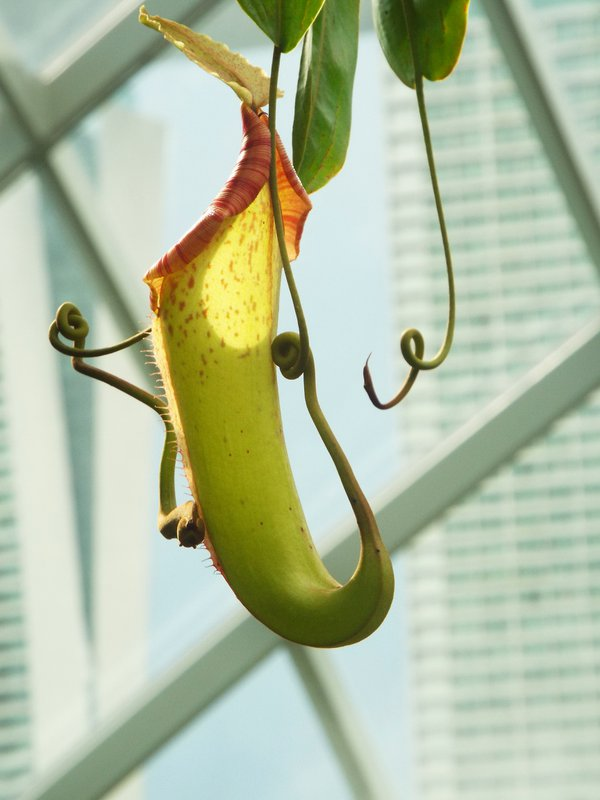 Pitcher Plant - Insectivore thumbnail