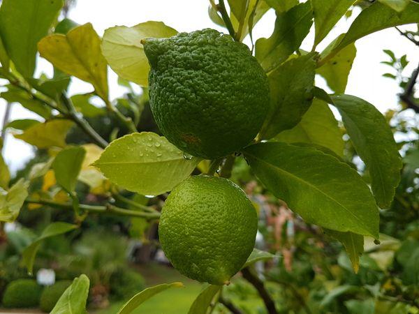 juicy citrus thumbnail