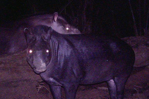 tapir, a herbivorous mammal