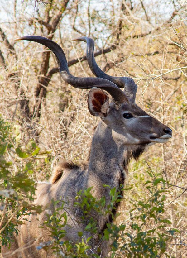 A kudu stands alert in the bush thumbnail