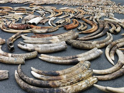Tusks from an $8 million shipment intercepted in Singapore