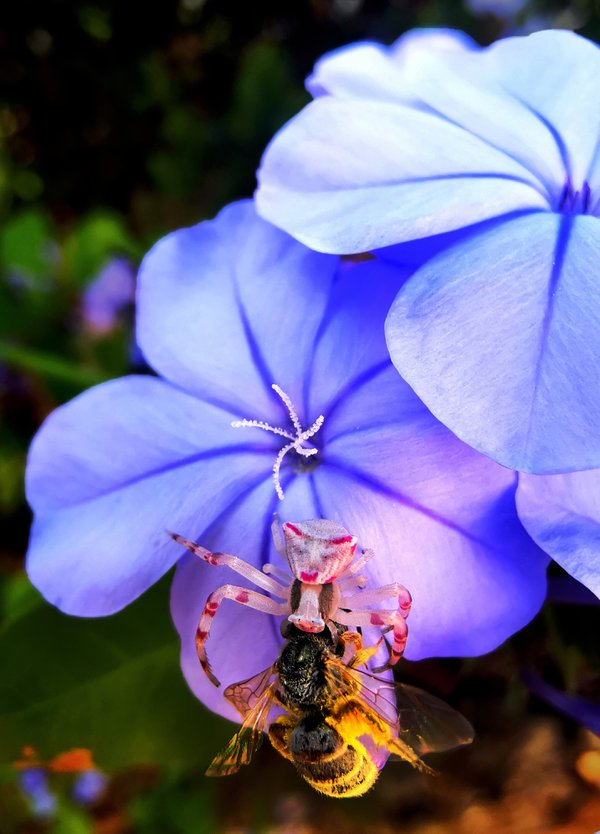 A flower crab spider attacking a bee on a sky flower plant thumbnail