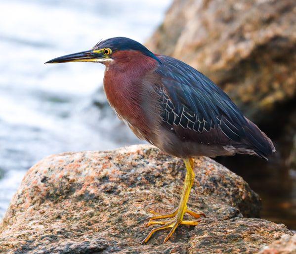 Green Heron on Cape Cod thumbnail