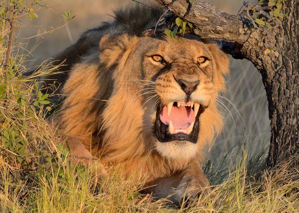 Protective Lion thumbnail