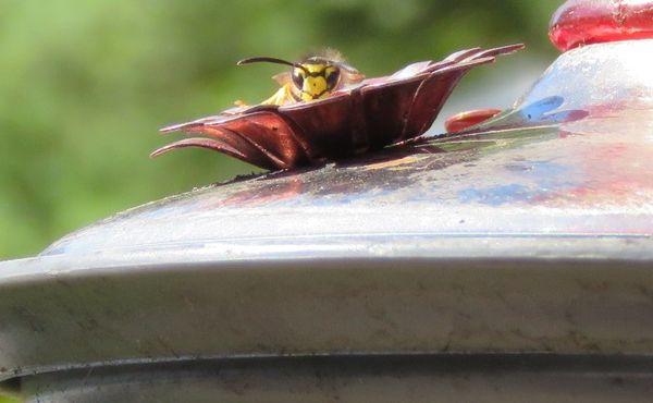A wasp drinking sugar water from hummingbird feeder thumbnail