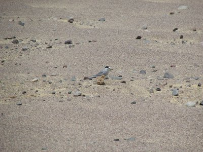 The Peruvian tern's desert camouflage makes it almost impossible to track, but that's exactly what our research team set out to do.