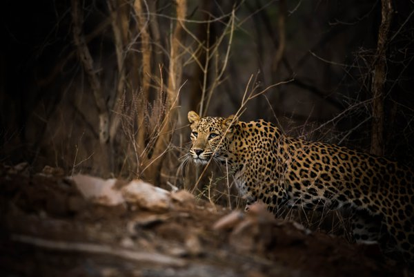 Leopard Coming Out Of Woods thumbnail